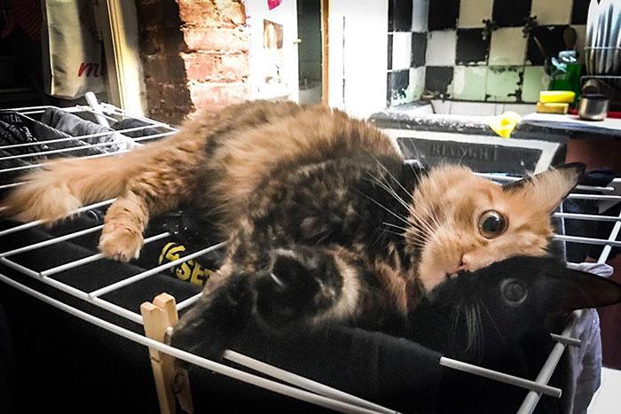 mačka chiméra