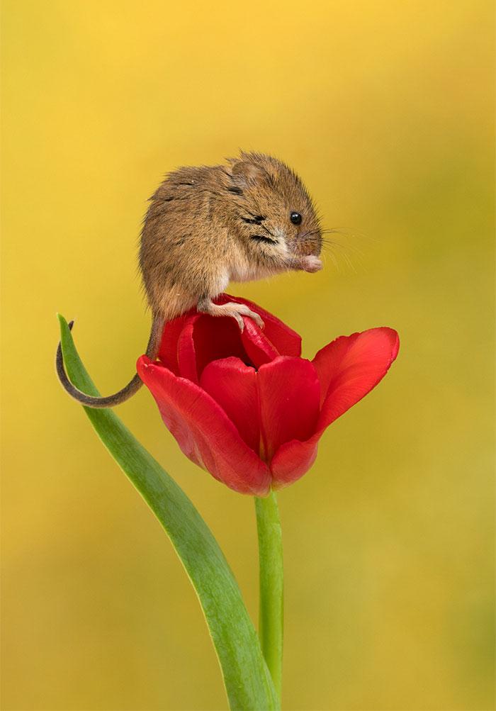 divé myšky