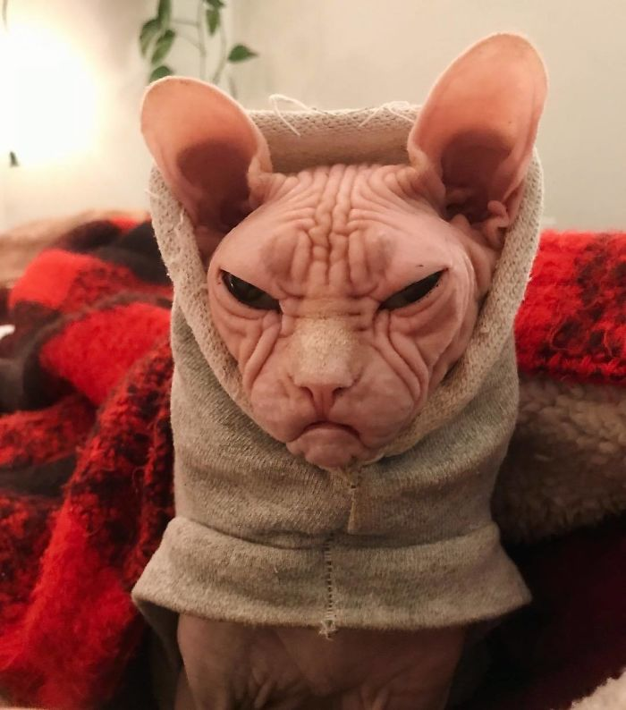 najnevrlejšia mačka
