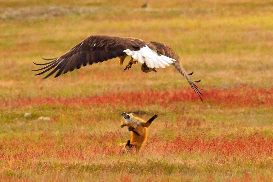 orol a líška