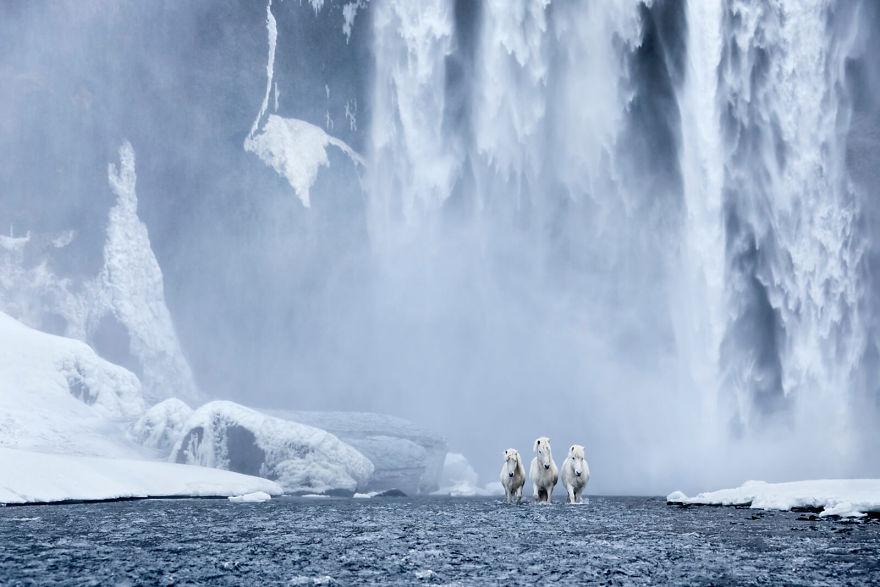 divoké kone na Islande