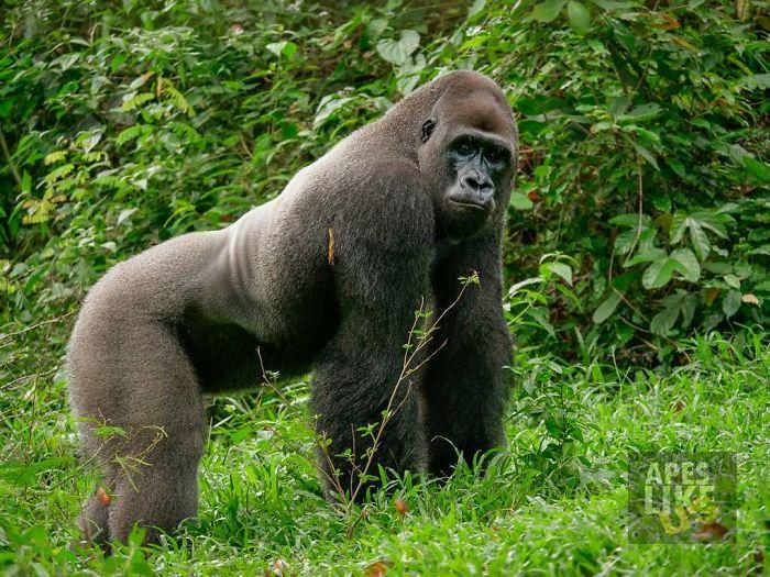 gorila a kamarát