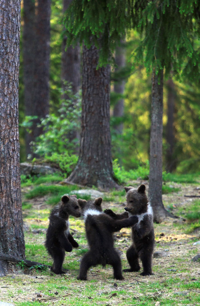 medvieďatká