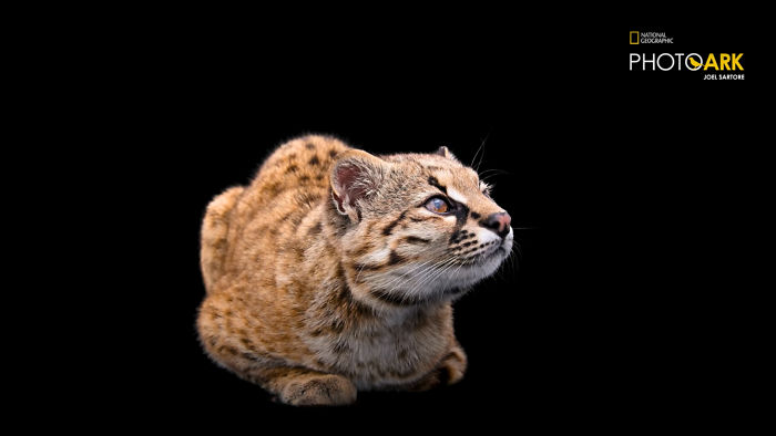 najmenšia divá mačka