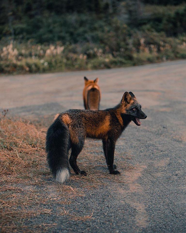 ohnivá líška