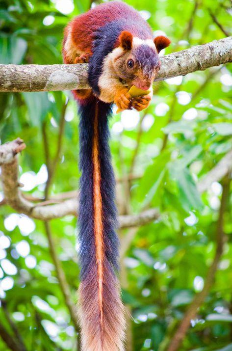 veverička z Indie
