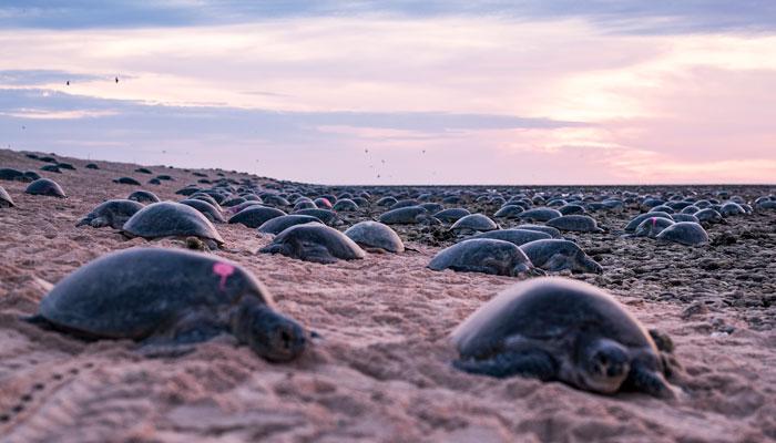 tisíce hniezdiacich korytnačiek