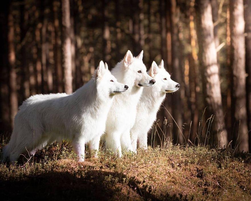 biely švajčiarsky ovčiak