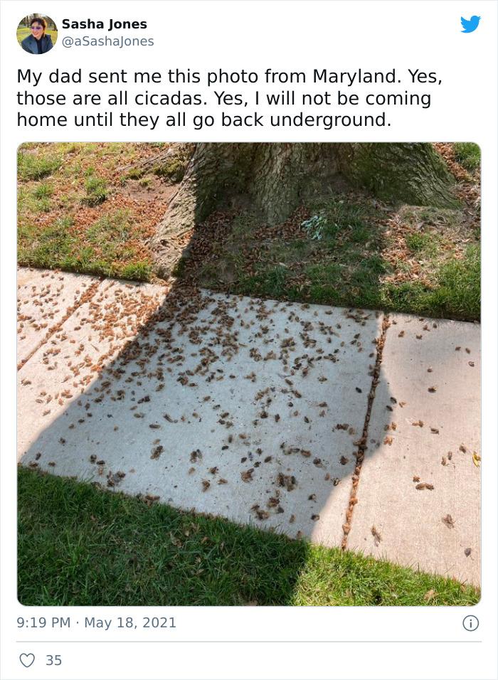 cikády
